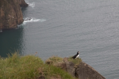 puffin pappageientaucher - seven peaks hike - vestmannaeyjar
